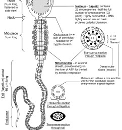 diagram of flagella [ 1125 x 1500 Pixel ]