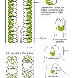 sea lettuce ulva lactuca [ 827 x 1138 Pixel ]