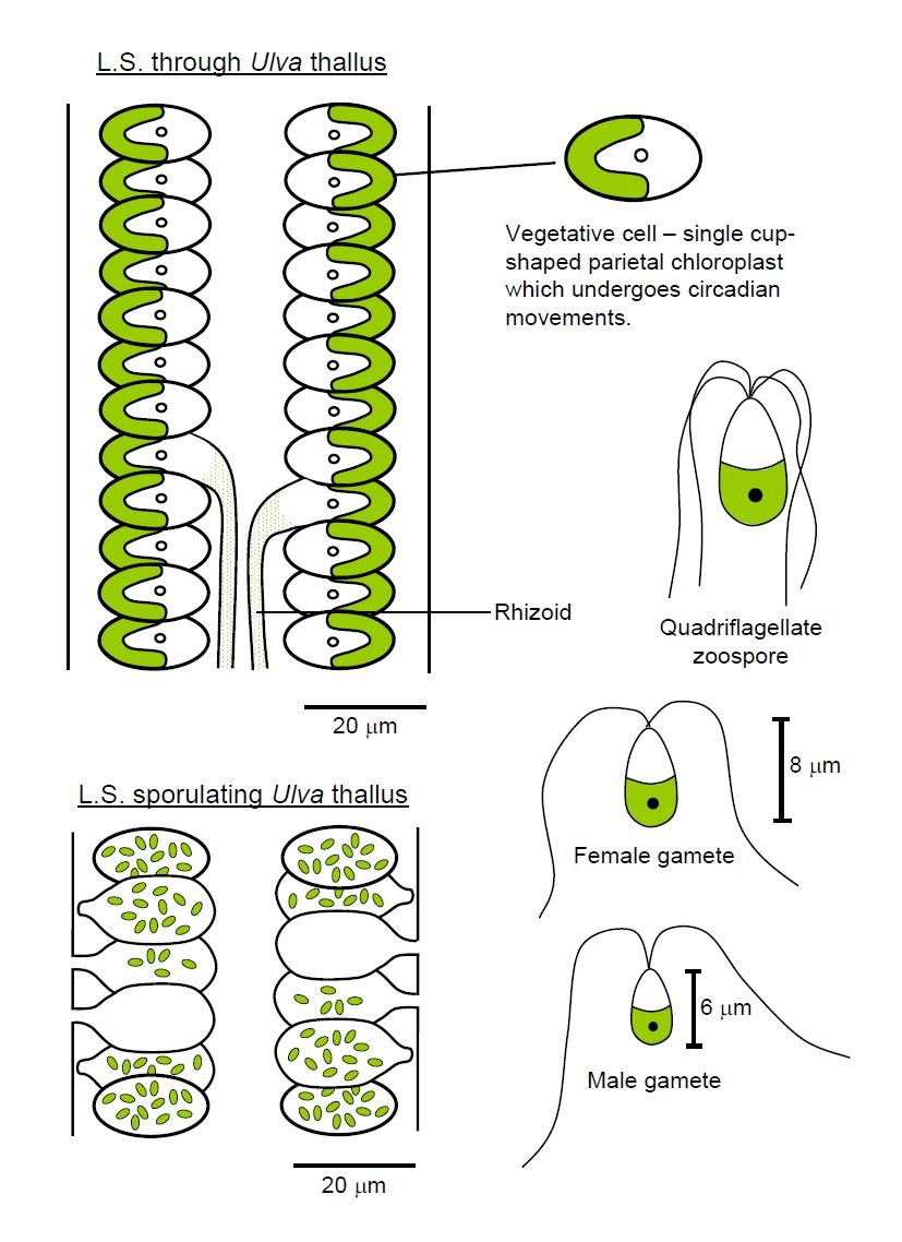 hight resolution of sea lettuce ulva lactuca
