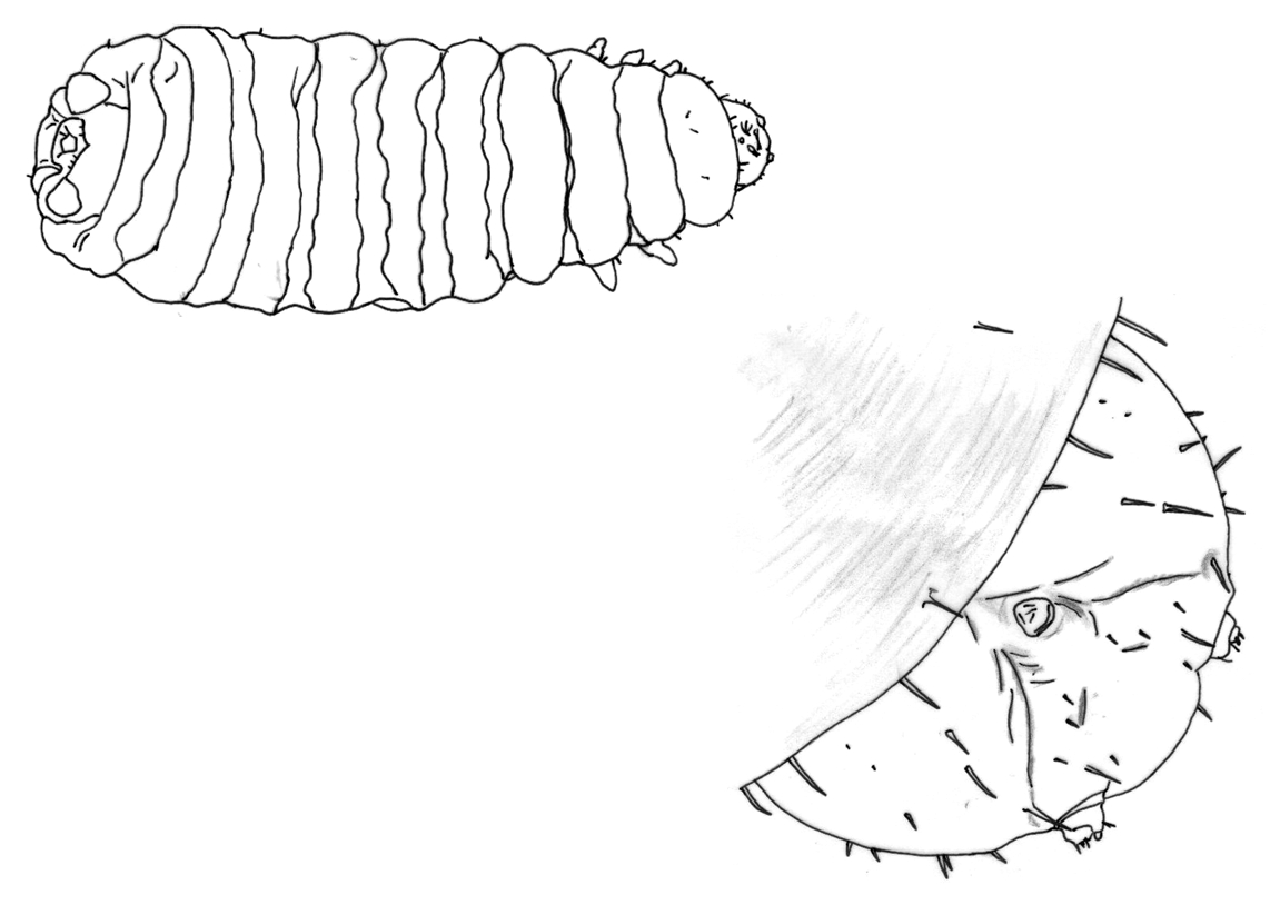 hight resolution of pupa in the soil and gnaw a hole in the pupal case enter seal the hole and then slowly devour the fly pupa developing within