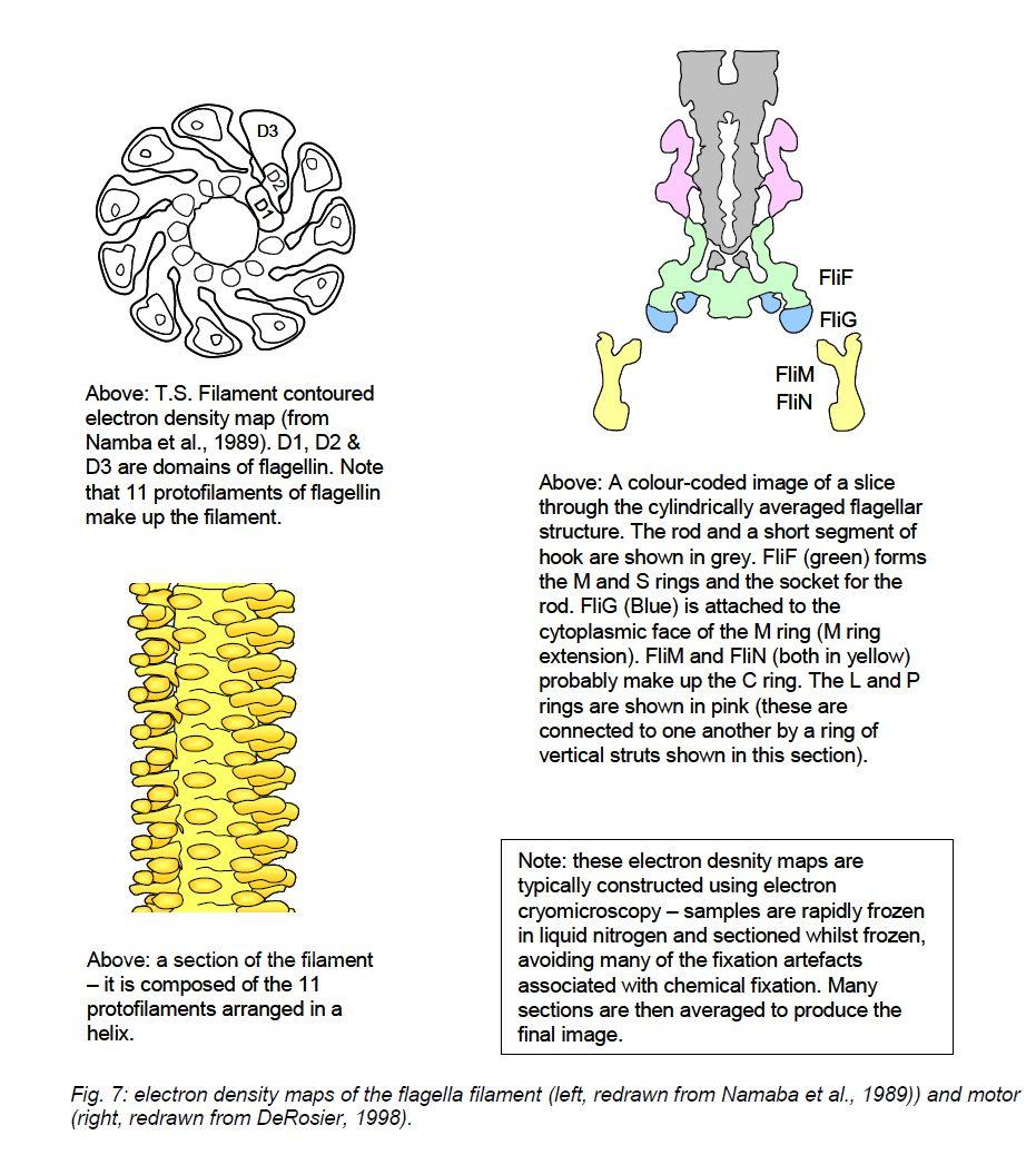 medium resolution of flagella structure in detail