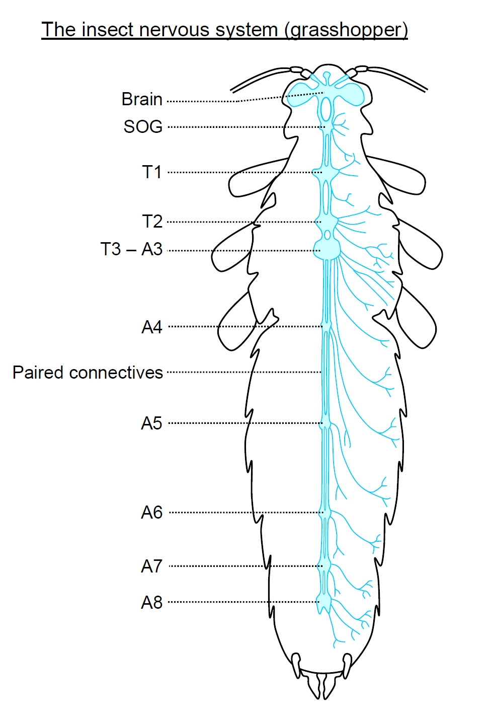 hight resolution of labelled diagram of insect nervous system