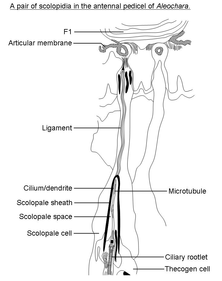 Insect Mechanoreceptors