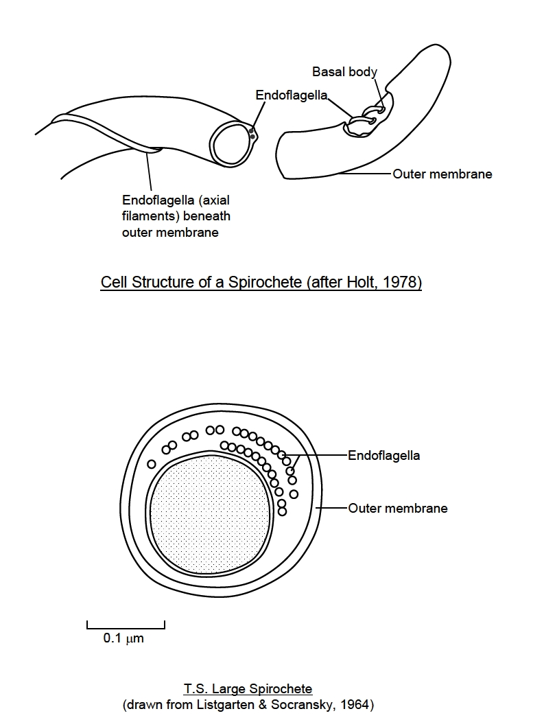 hight resolution of the flagella cause the cells to rotate like a corkscrew this enables spirochetes to travel with ease through highly viscous media like mud mucus