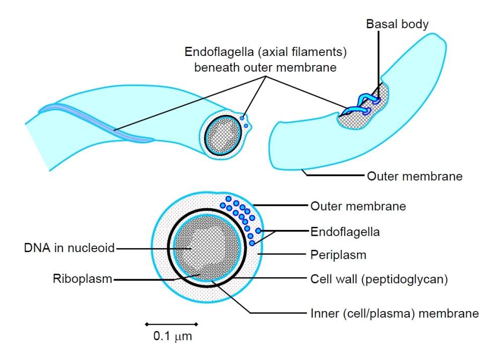medium resolution of a spirochaete