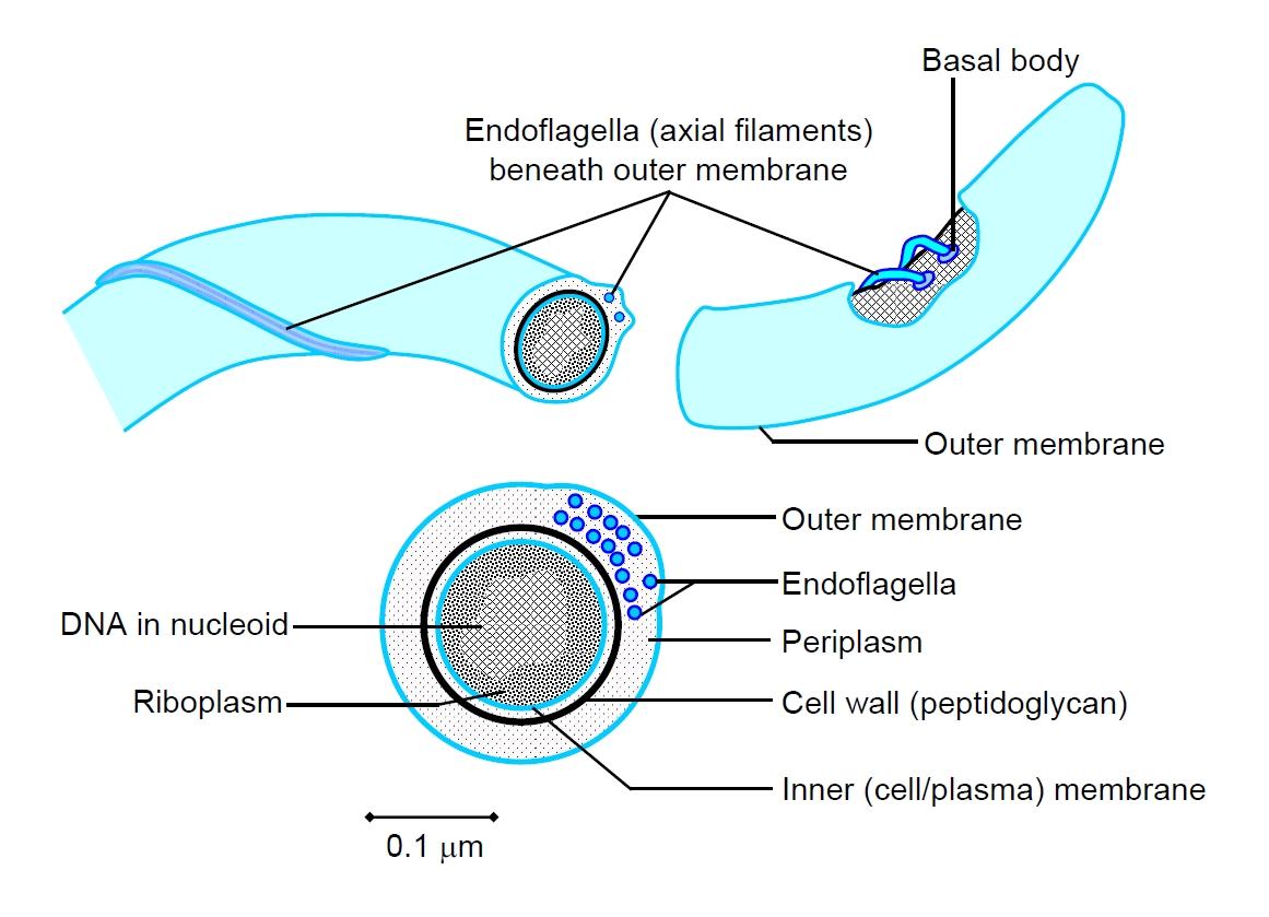 hight resolution of a spirochaete