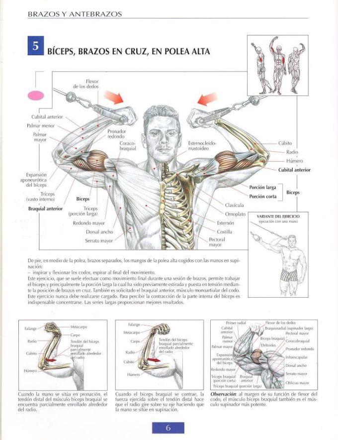Biceps entre poleas