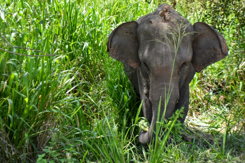 elephant in tall grass sri lanka by eileen cotter wright