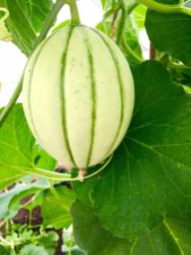 Greenhouse produce