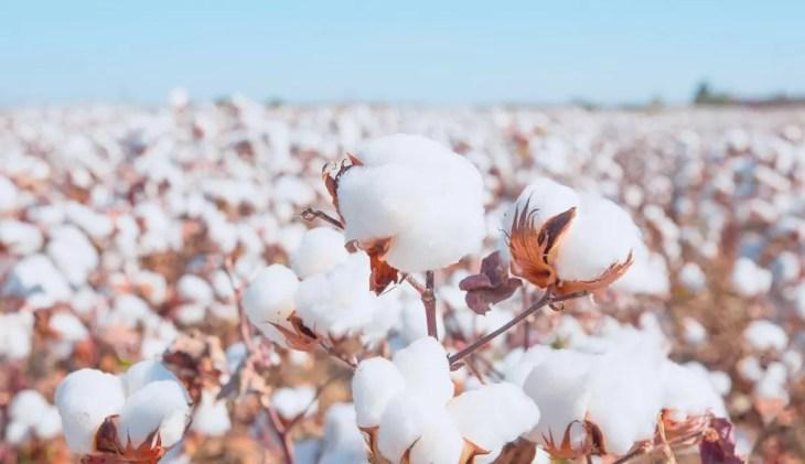 cotton 2020