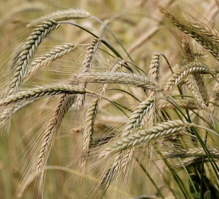 Studies Revealed That Higher Temperatures Can Boost Barley Yields