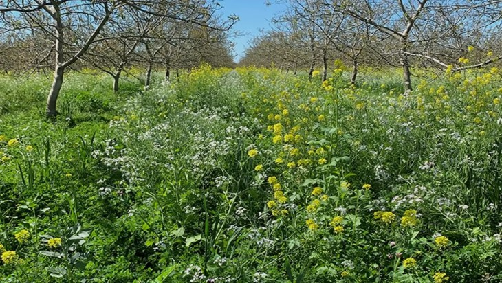 Zero-till Cover Crops May Be Used To Control Flea Beetles