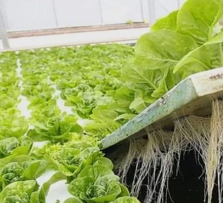 Bacillus Species Affect Lettuce Growth