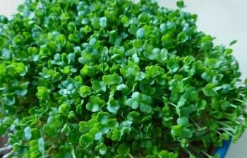 Microgreens Small Wonder Of Nature