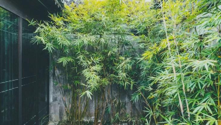 Invasive Bamboo