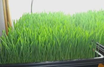 Barley Microgreen
