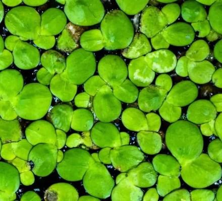 Duckweed Humble Pond Plant