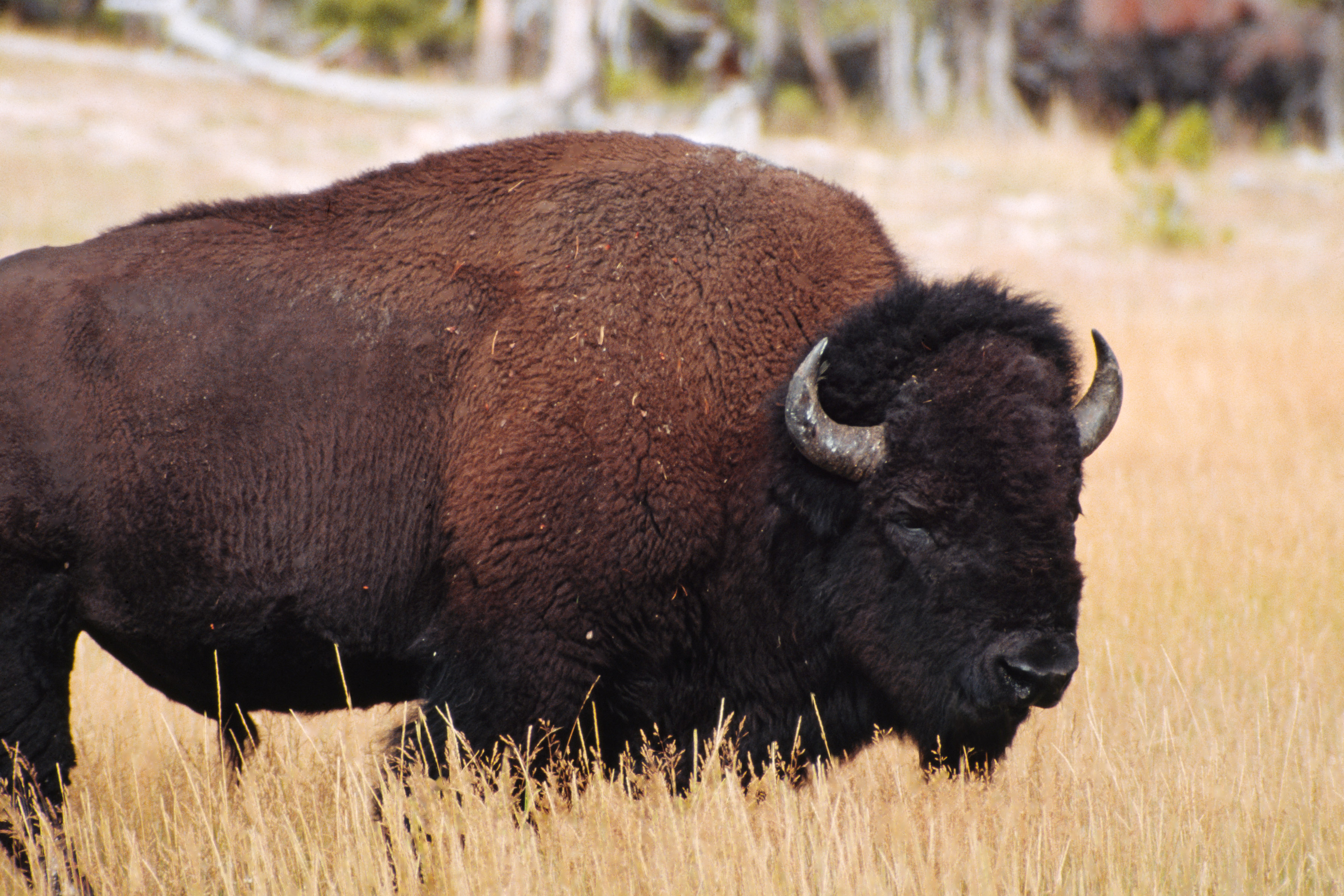 bison selected as the