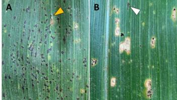 Photo of two corn leaves, one with tar spot and one with rust