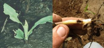 black cutworm injury