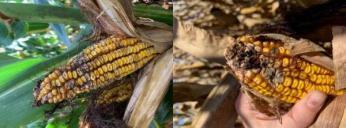 Fusarium on an ear of corn (left) andPennicillium on an ear of corn (right).