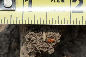 seedcorn maggot and pupae