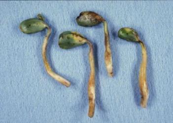Pythium in soybean seedlings