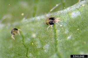 Twospotted spider mite.