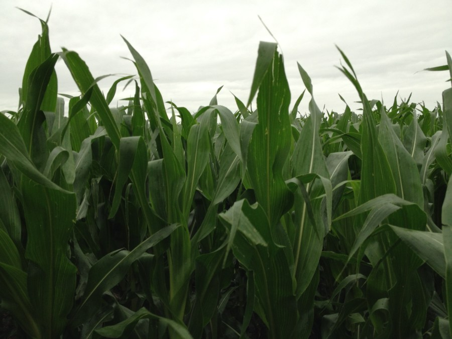 Figure 10. Corn field south of Snyder is 6 ft tall.