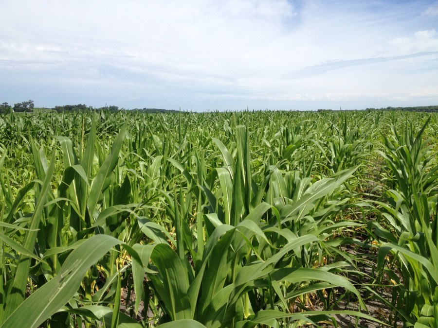 Figure 12. Corn field where saturated conditions persisted through much of June.
