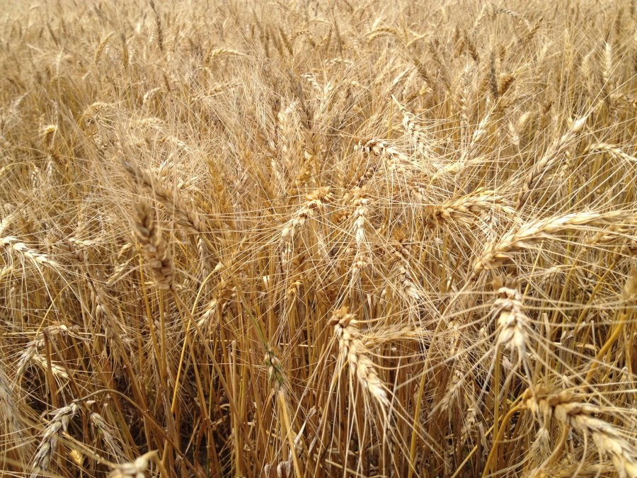 Figure 20. Winter wheat mature and ready for harvest this week.