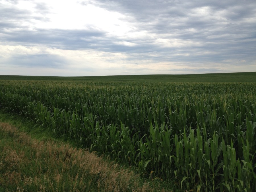 Figure 6. Corn field south of the Maple Creek that is pollinating.