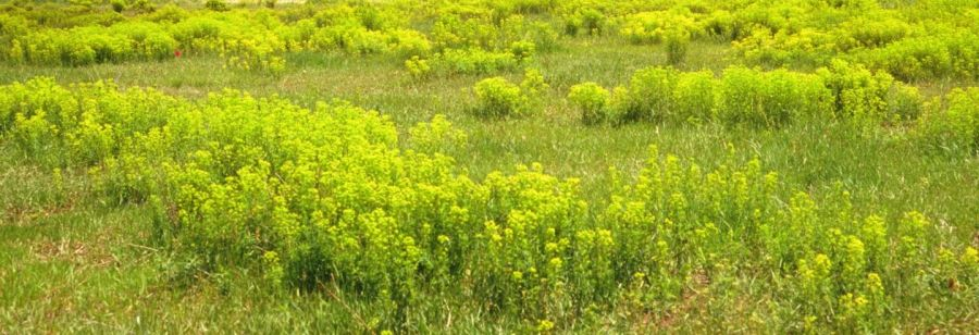 Leafy Spurge in a pasture