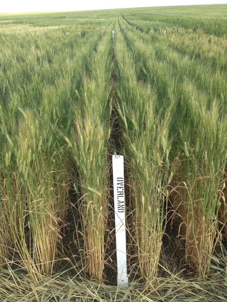 winter wheat variety trials