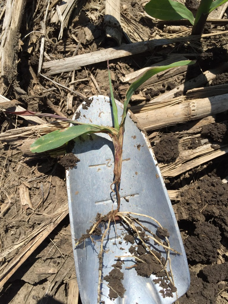 corn seedling diseases