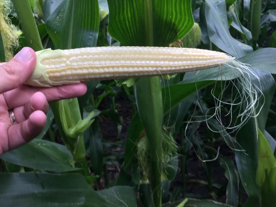 Figure 4. A few fields planted early are almost done pollinating, corn ear had 14 kernel rows by 37 kernels long.