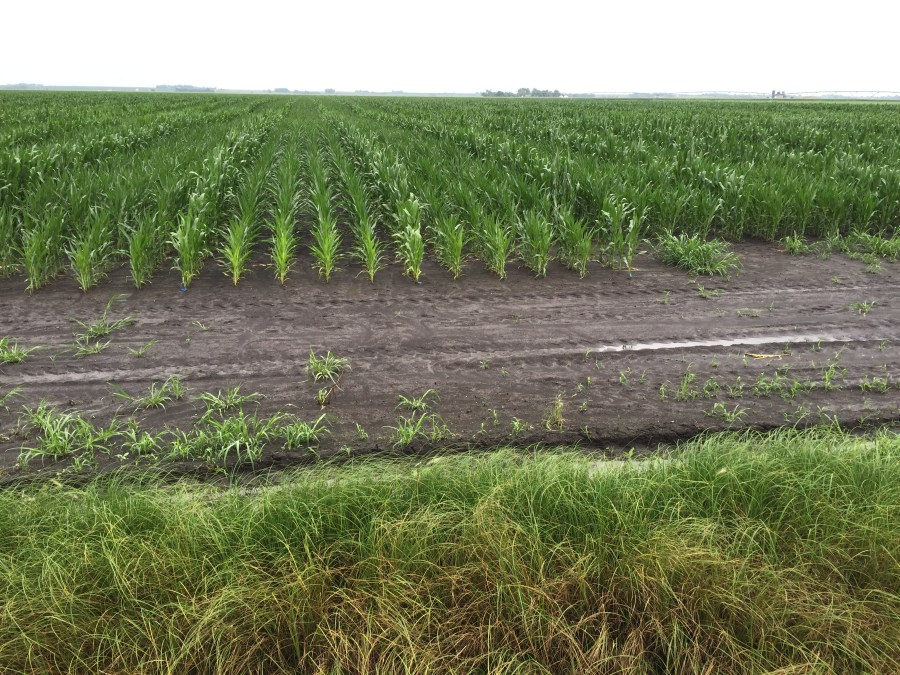 Figure 5. Seed corn growth and development is behind compared to last year.