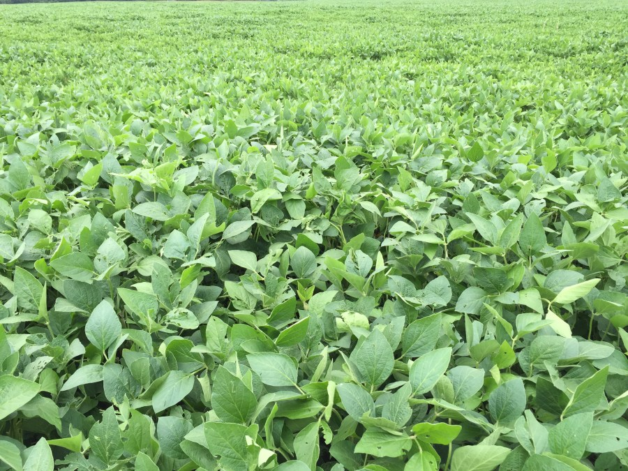 """Stop 16: Irrigated soybeans-after-corn in 15"""" rows is canopied on this"""
