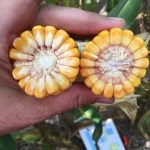 KTIC Radio Extension Corner: 2016 Dodge County Preharvest Yield Tour