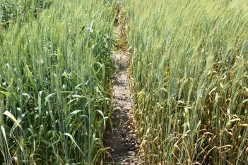 Wheat scab