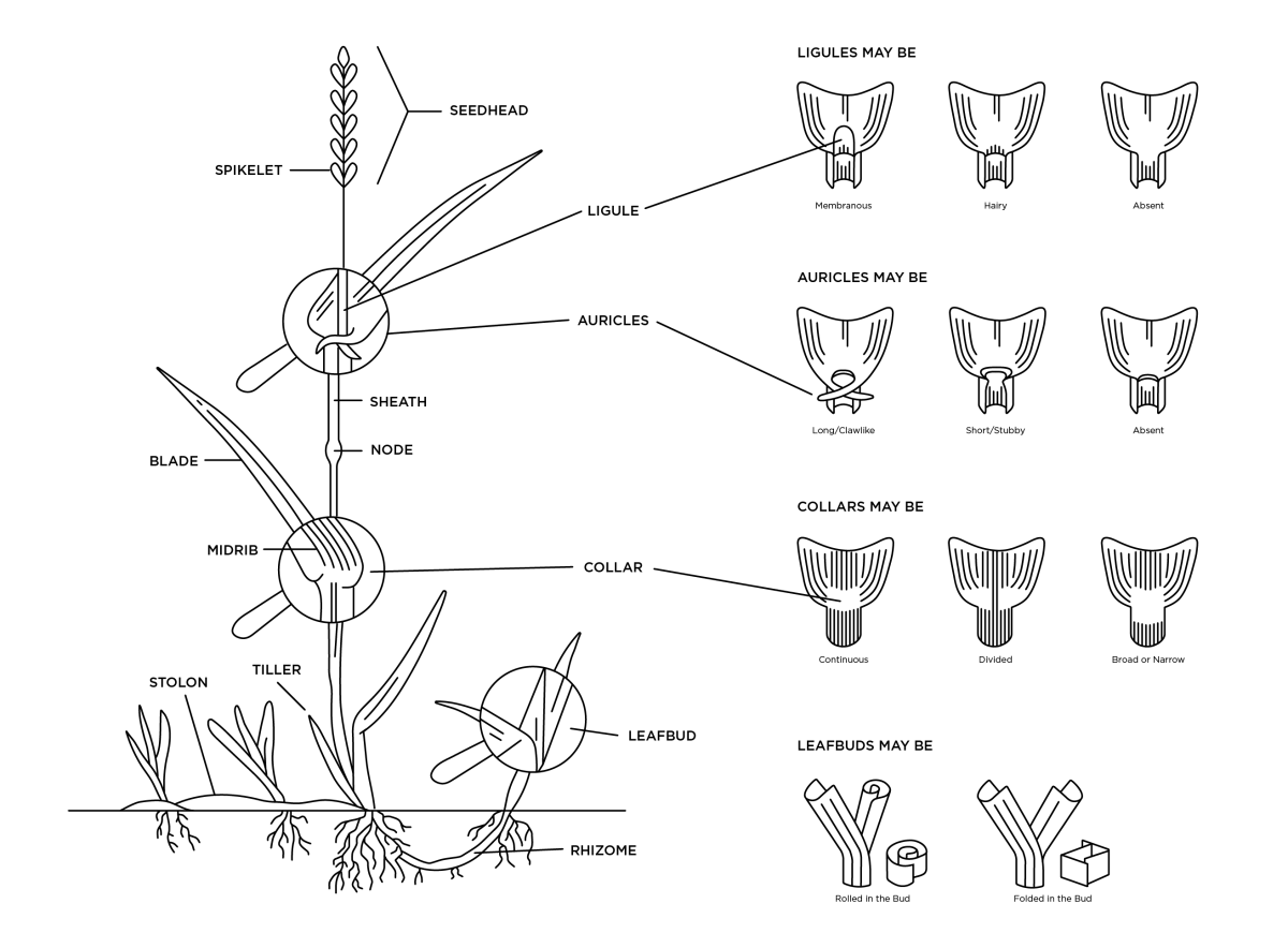 hight resolution of illustrated diagram of the anatomy of a monocot plant