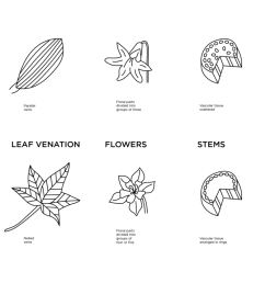 illustrated diagram of the differences of monocot and dicot plant anatomy embryos leaf ventilation [ 1200 x 714 Pixel ]