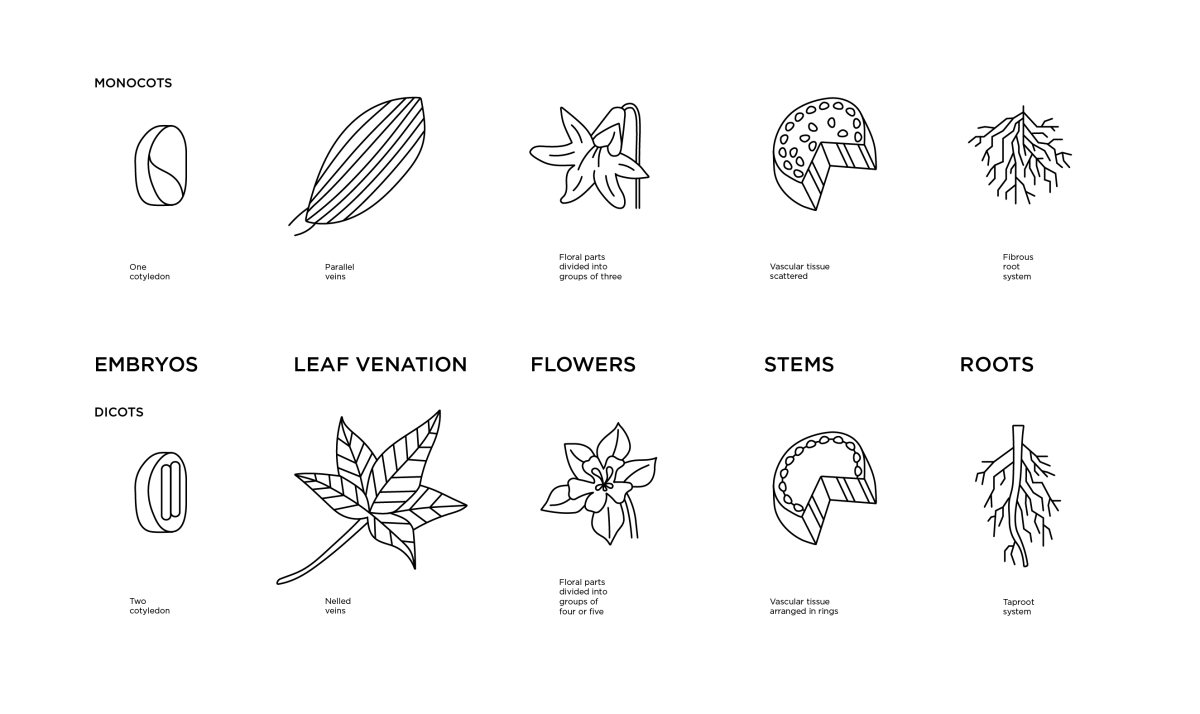 hight resolution of illustrated diagram of the differences of monocot and dicot plant anatomy embryos leaf ventilation