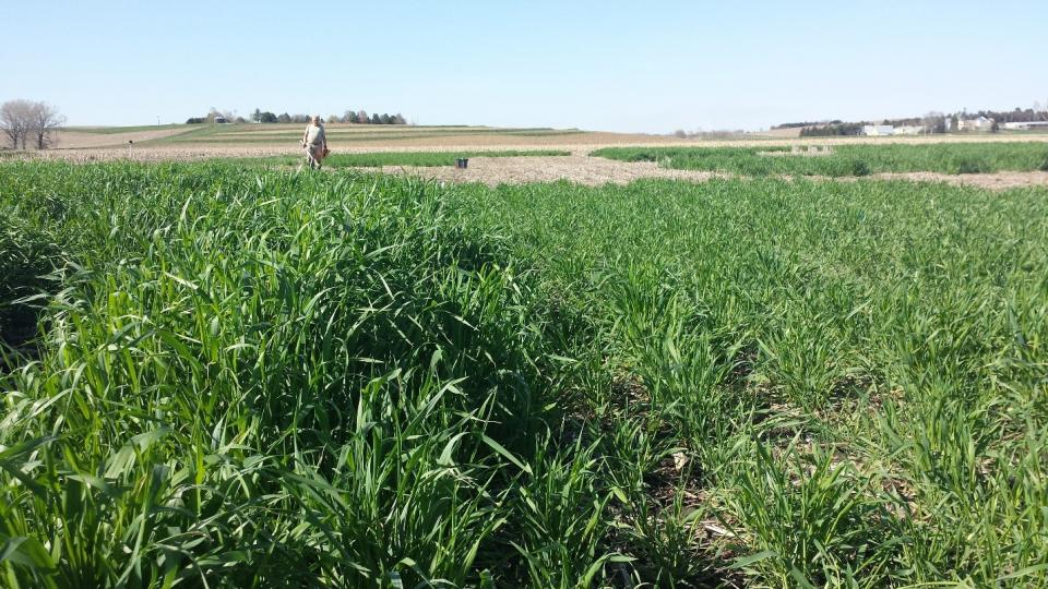 Biomass Production of Winter Annual Cover Crops in Corn