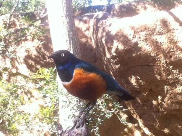 Superb starling - Choucador superbe