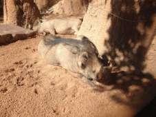 Warthog - phacochère