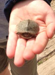 Valence - avril 2016 - sauvetage de tortue Théodore (2)-800