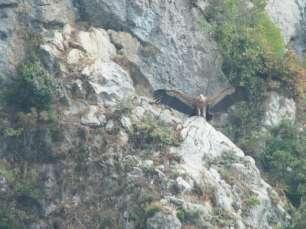 vautour fauve 3-800