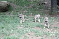 ortiac-ete-2016-4-8-2016-parc-animalier-des-pyrenees-326-800