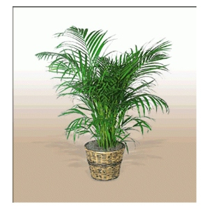 areca palm in basket green plant